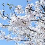 大岡川桜まつり|花見を楽しむ屋台の場所・まったり穴場2選