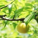 梅ジャムの作り方|簡単レシピ【レンジ】梅ジャム料理もご紹介